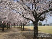 町民公園の桜のサンプル画像