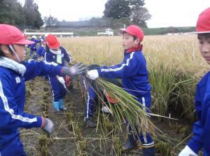 5年生 稲刈り01
