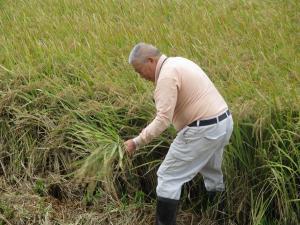 5年生 稲刈り06