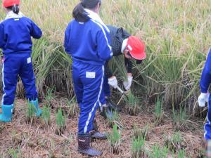 5年生 稲刈り07