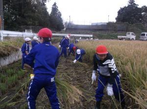 5年生 稲刈り09
