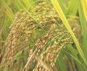 米(コシヒカリ)の写真