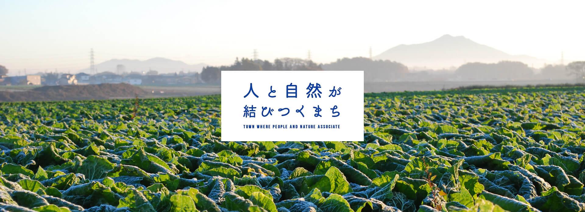 八千代町の白菜畑